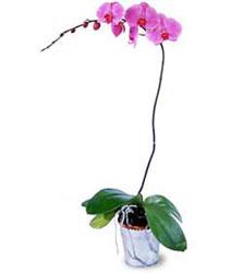 Gaziantep çiçek yolla  Orkide ithal kaliteli orkide