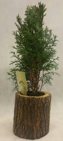 SINIRLI STOK Selvi Bonsai Doğal kütükte  Gaziantep online çiçek gönderme sipariş