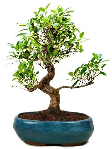 25 cm ile 30 cm aralığında Ficus S bonsai  Gaziantep cicek , cicekci