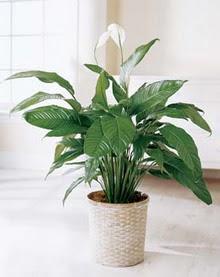 Gaziantep İnternetten çiçek siparişi  spatilyum ithal büyük boy