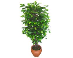 Ficus Benjamin 1,50 cm   Gaziantep çiçek satışı