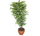 Ficus özel Starlight 1,75 cm   Gaziantep çiçek gönderme sitemiz güvenlidir