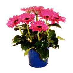 vazo içerisinde gerbera çiçekleri   Gaziantep İnternetten çiçek siparişi