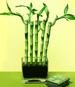 Gaziantep çiçek satışı  Good Harmony Lucky Bamboo camda