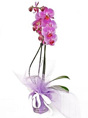 Gaziantep çiçek satışı  Kaliteli ithal saksida orkide
