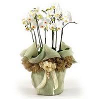 Gaziantep kaliteli taze ve ucuz çiçekler  3 dal orkide , saksi çiçegi , 3 kök orkide