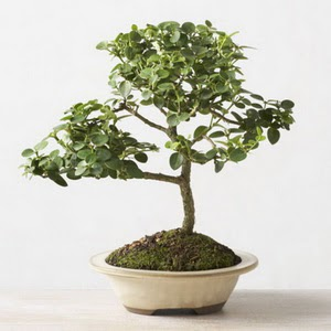 ithal bonsai saksi çiçegi  Gaziantep ucuz çiçek gönder