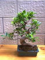 ithal bonsai saksi çiçegi  Gaziantep çiçek , çiçekçi , çiçekçilik