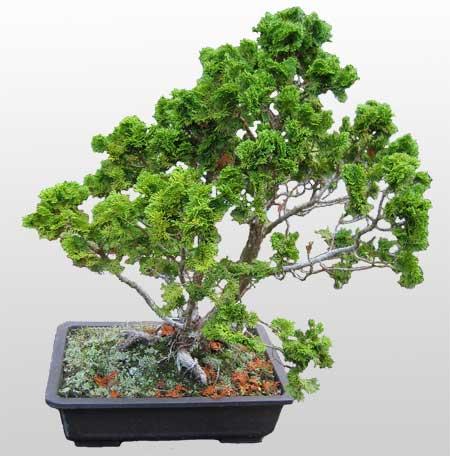 ithal bonsai saksi çiçegi  Gaziantep online çiçek gönderme sipariş