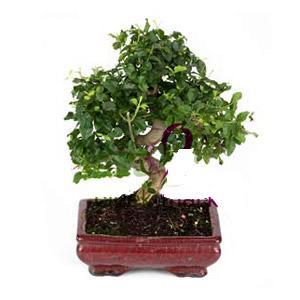 ithal bonsai saksi çiçegi  Gaziantep çiçek satışı