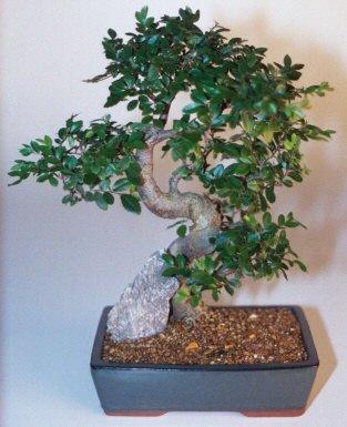 Gaziantep cicek , cicekci  ithal bonsai saksi çiçegi  Gaziantep kaliteli taze ve ucuz çiçekler
