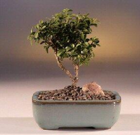 Gaziantep cicekciler , cicek siparisi  ithal bonsai saksi çiçegi  Gaziantep güvenli kaliteli hızlı çiçek