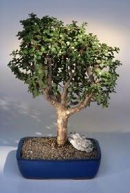 Gaziantep uluslararası çiçek gönderme  ithal bonsai saksi çiçegi  Gaziantep yurtiçi ve yurtdışı çiçek siparişi