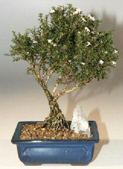 Gaziantep hediye sevgilime hediye çiçek  ithal bonsai saksi çiçegi  Gaziantep İnternetten çiçek siparişi