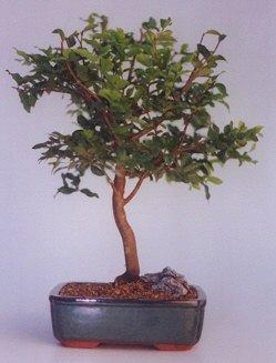 Gaziantep çiçek online çiçek siparişi  ithal bonsai saksi çiçegi  Gaziantep çiçek satışı