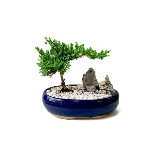 ithal bonsai saksi çiçegi  Gaziantep uluslararası çiçek gönderme