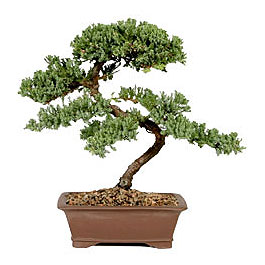 ithal bonsai saksi çiçegi  Gaziantep cicek , cicekci