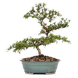 Gaziantep online çiçek gönderme sipariş  ithal bonsai saksi çiçegi  Gaziantep cicek , cicekci
