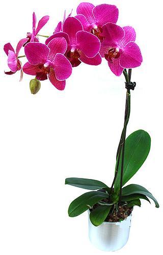 Gaziantep çiçek mağazası , çiçekçi adresleri  saksi orkide çiçegi