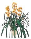 Gaziantep yurtiçi ve yurtdışı çiçek siparişi  Orchiede ithal büyük boy saksi