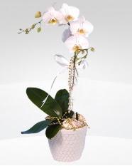 1 dallı orkide saksı çiçeği  Gaziantep internetten çiçek siparişi