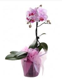 1 dal pembe orkide saksı çiçeği  Gaziantep çiçek siparişi sitesi