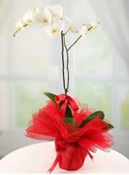 1 dal beyaz orkide saksı çiçeği  Gaziantep çiçekçiler
