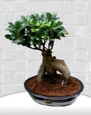 saksı çiçeği japon ağacı bonsai  Gaziantep çiçek siparişi sitesi