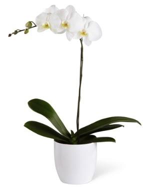 1 dallı beyaz orkide  Gaziantep çiçekçi telefonları