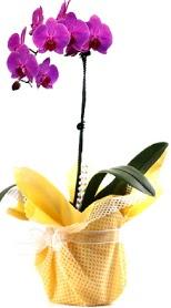 Gaziantep kaliteli taze ve ucuz çiçekler  Tek dal mor orkide saksı çiçeği