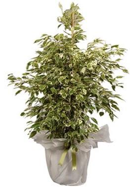 Orta boy alaca benjamin bitkisi  Gaziantep güvenli kaliteli hızlı çiçek