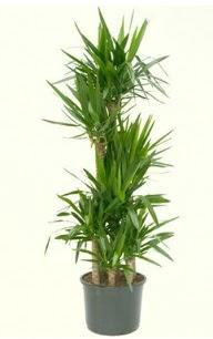 7 li yucca saksı bitkisi  Gaziantep hediye çiçek yolla