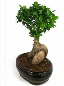 Bonsai saksı bitkisi japon ağacı  Gaziantep kaliteli taze ve ucuz çiçekler