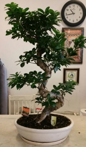 100 cm yüksekliğinde dev bonsai japon ağacı  Gaziantep online çiçek gönderme sipariş