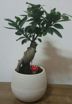 Bonsai japon ağacı saksı çiçeği  Gaziantep cicek , cicekci