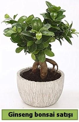Ginseng bonsai japon ağacı satışı  Gaziantep 14 şubat sevgililer günü çiçek