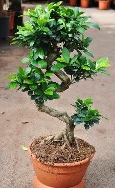 Orta boy bonsai saksı bitkisi  Gaziantep online çiçekçi , çiçek siparişi