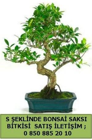 İthal S şeklinde dal eğriliği bonsai satışı  Gaziantep uluslararası çiçek gönderme