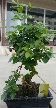 Bonsai japon ağacı saksı bitkisi  Gaziantep çiçek yolla , çiçek gönder , çiçekçi