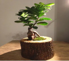 Doğal kütükte Bonsai japon ağacı satışı  Gaziantep güvenli kaliteli hızlı çiçek