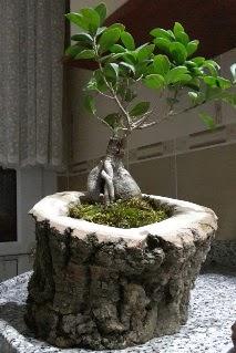 Ahşap kütük içerisinde ginseng bonsai  Gaziantep online çiçekçi , çiçek siparişi