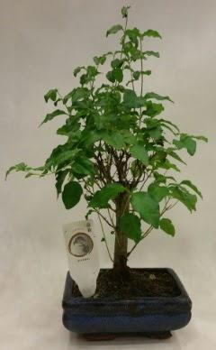 Minyatür bonsai japon ağacı satışı  Gaziantep 14 şubat sevgililer günü çiçek