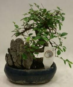 İthal 1.ci kalite bonsai japon ağacı  Gaziantep anneler günü çiçek yolla