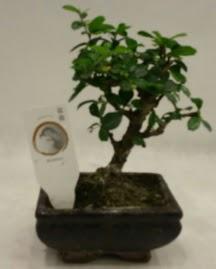 Küçük minyatür bonsai japon ağacı  Gaziantep uluslararası çiçek gönderme