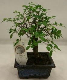 Minyatür ithal japon ağacı bonsai bitkisi  Gaziantep anneler günü çiçek yolla