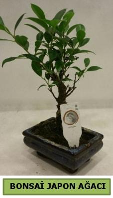 Bonsai japon ağacı saksı bitkisi  Gaziantep hediye çiçek yolla