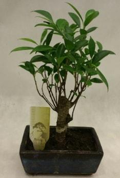 Japon ağacı bonsai bitkisi satışı  Gaziantep 14 şubat sevgililer günü çiçek