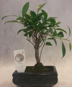 Bonsai japon ağacı bitkisi satışı  Gaziantep cicek , cicekci