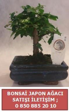 Japon ağacı minyaür bonsai satışı  Gaziantep anneler günü çiçek yolla
