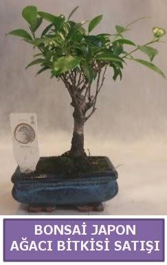 İthal Bonsai japon ağacı bitkisi satışı  Gaziantep online çiçek gönderme sipariş